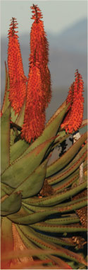 African Aloe